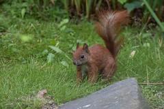 Red squirrel (Jens Hyldstrup Larsen) Tags: rodentia redsquirrel sciurusvulgaris sciuridae egern gnavere sciurusvulgarisfuscoater