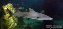 DSC_8415 (slamto) Tags: australia sydneyaquarium sydneysealifeaquarium shark