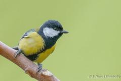 El invitado (Dani (Atrus)) Tags: carbonerocomn parusmajor greattit jdanielfernndez elrincndelosprotegidos aves birds espaa spain naturaleza fauna