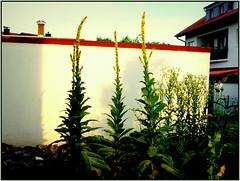 """Die Knigskerze im Morgenlicht - """"Ein frhliches Erwachen, Recken und Strecken !""""  - In meinem Vorgarten aufgenommen ! (:SARA_be:) Tags: knigskerzen saariysqualitypictures comment codes"""
