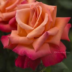 BEAUTY (Pilar Azaa Taln ) Tags: select dadelamigo rosa flor planta vida luz color life light naturaleza nature foryou sotres asturias espaa spain pilarazaataln copyrightpilarazaataln