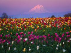 Tulip Paradise (Yanbing Shi) Tags: yellow oregon woodenshoetulipfarm sunset mthood mounthood hood tulip pacificnorthwest