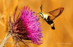 Snowberry Clearwing Moth (James Lees Photography) Tags: snowberryclearwing moth insect flyinginsect nature ontario canada wildlife flower nectar dayflyingmoth