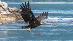Juvenile Bald Eagle with the Catch of the Day (RussellK2013) Tags: nikon nikkor nature ngc 300mmf4epfedvr 300mm eagle bird bif bokeh birds water ocean sea canada britishcolumbia prime predator prey raptor talon d500 wildlife wild animal jimmyjuddisland jimmyjudd haliaeetusleucocephalus