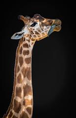 Girafe (yostD7000) Tags: girafe nikon nikond610 d610 animal nikkor70300 yostd7000 zoo