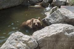 Orso bruno (querin.rene) Tags: renéquerin qdesign parcolecornelle parcofaunistico lecornelle animali animals orso bear orsobruno water acqua