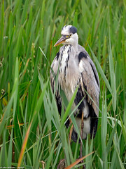 Leighton Moss 277 (digiSET) Tags: rspbleightonmoss bird heron nature wildlife leightonmoss waterbird naturereserve water