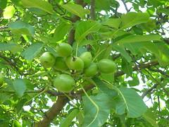 Walnu-Fruchreife (Jrg Paul Kaspari) Tags: summer green fruit sommer grn frucht regia mosel juglans juglansregia rzig walnus fruchtreife