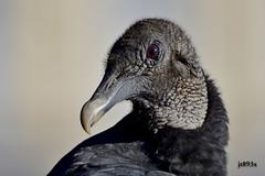 Black Vulture (jt893x) Tags: 150600mm bird blackvulture coragypsatratus d500 jt893x nikon nikond500 portrait raptor sigma sigma150600mmf563dgoshsms vulture specanimal