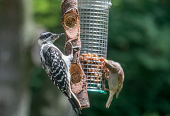 Wild about Hairy (114berg) Tags: hairy illinois woodpecker feeder butter bark geneseo 10july16