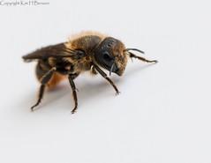 Bee at home (kimbenson45) Tags: bee black brown closeup differentialfocus eye feet hairs hairy insect legs macro nature orange shallowdepthoffield white wildlife yellow