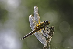Backlit Dragon (me'nthedogs) Tags: dragonfly somerset levels fourspotchaser catcott