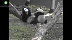 2016_07-15f (gkoo19681) Tags: nationalzoo stealing meixiang beibei sharingiscaring ccncby treatring