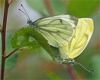 Mating Green-Veined Whites