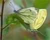 Mating Green-Veined Whites (Foto Martien) Tags: holland macro netherlands dutch butterfly geotagged asia europe northafrica nederland papillon mating northamerica gps falter mariposa geotag coupling slt veluwe farfalla kleingeaderdwitje schmetterling vlinder a77 macrophoto greenveinedwhite copulation geotagging butterflygarden harskamp macrofoto vlindertuin mustardwhite pierisnapi zorgboerderij piéridedunavet bielinekbytomkowiec zorginstelling rapsweisling pieridedelnavone sonysal18250 grünaderweisling passiflorahoeve sonydt18250mmf3563 martienuiterweerd martienarnhem エゾスジグロシロチョウ grayveinedwhite fotomartien blancaverdinervada брюквенница slta77v a77v sonyalpha77 marginwhite microstriatawhite sharpveinedwhite سفیدسبزرگ vlindervolièreeuropesevlinders kwekerijeuropesevlinders kwekerijvooreuropesevlinders