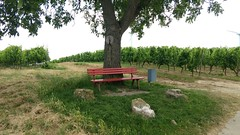 Wandern bei Selzen (Frank Hamm) Tags: wandern rheinhessen weinberge hahnheim selzen