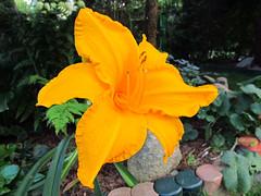 Flowers - (PL) Liliowiec (transport131) Tags: ogrd garden summer flower kwiat