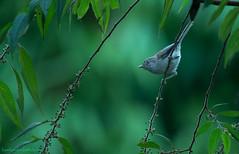 / Blue-winged Siva / Siva cyanouroptera (bambusabird) Tags: nature natural wildlife birds siva forest rainforest tropical oriental doiinthanon chiangmai thailand