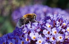 IMGP1655 (Fan Majie ) Tags: bumblebee mimicry janvanhoutkade leiden bugs