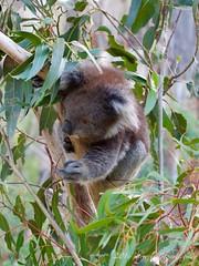 koala; unbearably cute (mirrorlessplanet.com) Tags: mirrorlessplanetcom australiancapitalterritory australia koala nature tidbinbillanaturereserve phascolarctoscinereus marsupial