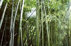 Jungle drum (Insher) Tags: sochi jungle bamboo plant