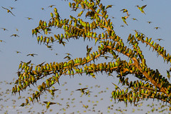 IMG_0284.jpg (Paul Williams www.IronAmmonitePhotography.com) Tags: bird budgerigar summer murmuration dryseason melopsittacusundulatus australia