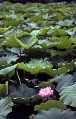 The lotus flower of Shinobazunoike pond,Ueno,Tokyo 2016/07 No.7(taken by film camera). (HIDE@Verdad) Tags: nikon newfm2 e100mm f28 fuji provia 400x