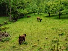 Bisons (mheckerle) Tags: cow kuh khe 2016 natur farm nature animals landscape landschaft landwirtschaft rinder hessen hesse germany