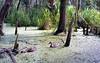 The Wetlands [Nikon F5 Film] (Aviator195) Tags: kodak kodakfilm kodakektar kodakektar100 ektar ektar100 ektarfilm film filmphotography filmisnotdead filmphotos filmscan filmphoto nikon nikonfilm nikonf5 f5 epson epsonperfectionv550 epsonv550 v550 highquality highqualityfilmscan warriewood warriewoodwetlands wetlands wetlad swamp marsh marshlands floraandfauna flora sigma nature ducks birds avian waterscape