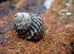 Zebra winkle - Austrocochlea porcata (Marine Explorer) Tags: nature marine rockpool marineexplorer
