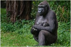 Gorilla Mama / Baby (gosammy1971) Tags: gorilla lowland flachlandgorilla mapema flickr tiere animals natur nature safiri puppy kleintje tochter baby