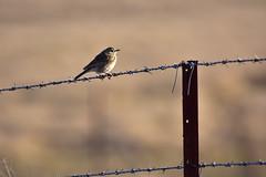 Australasian Pipit (Luke6876) Tags: australasianpipit pipit fence bird animal wildlife australianwildlife