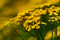 Tanaisie vulgaire / Common Tansy (anjoudiscus) Tags: roseange d800 nikkor300mmpf tc14 fleurs flowers tanaisie tanaisievulgaire commontansy asteraceae tancetumvulgare fleursauvage wildflower jaune yellow juillet 2016