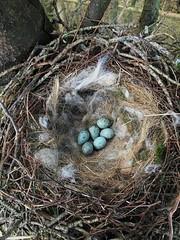 IMG_1469 (JMarshall78) Tags: nests nest birds ornithology wildlife devon