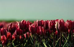 ND5_1937_Lr-edit (Alex-de-Haas) Tags: bloemenbijeenkomst dutch holland lowcountries nederland noordholland thenetherlands westfrieseomringdijk avond beautiful bloemen bloemenvelden colorful colors colourful colours evening flat flower flowerfields kleuren kleurrijk laagland landscape landschap lente licht light mooi nature natuur plat polder spring sun sunny tulipfields tulipa tulips tulpen tulpenvelden westfriesedijk zon zonnig