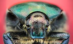 Rose Chaffer (Can Tuner) Tags: green metalic beetle can cantuner canon6d cantuncer canon closer macro makro macros micro macrophotography mpe65mm mikro mpe65 izmir tuner turkey tt trkiye turkiye tuncer stack stacking studio ike ikea jans
