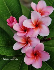 At a quarter to ten you know it's travelin' again (Kathryn Louise18) Tags: cultivar lagunapink orange plumeria frangipani hawaii florida flower garden tropical macro tree petals color gratefuldead roberthunterlyrics plant outdoor canon inflorescence nature pink
