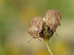 Twins! (Julian Hodgson) Tags: tortoiseshieldbug eurygastertestudinaria hemiptera heteroptera scutelleridae shieldbug holmefen nationalnaturereserve cambridgeshire canonpowershotsx50hs raynoxdcr150