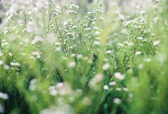 Softly (Katie Tarpey) Tags: plant bush flowers green soft depthoffield light dreamy nature film 35mm kodak kodakgold400 nikonfm10 nikkor50mm14 melbourne winter