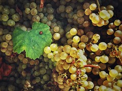 Vendanges (xmairephoto) Tags: vendanges raisin grapes coccinelle samsunga3 snapseed vin wine