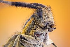 Portrait of A Longhorn Beetle (zgrkrmblr) Tags: macro macrophotography bug focusstack sony a7 newport433 manfrotto410 manfrotto357 berlebach tripod sunwayfoto arthropoda insect bcek makro studiostack coleoptera cerambycidae agapanthiavillosoviridescens goldenbloomedgreylonghornbeetle entomology entomoloji wildlife extremecloseup nikonpb6bellows canonmacrophotolens35mmf28
