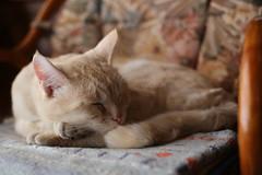 IMG_6897 Cream tabby Japanese sleep cat 薄茶トラ猫 (by ENJOY DESIGN) Tags: animal cat canon japanese sleep tabby cream 猫 動物 ネコ 三毛猫 eos6d 猫写真 縞三毛 雌ネコ