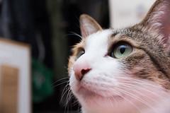 20150330-DSC_2435 (Noelas) Tags: pet 30 cat momo nikon taiwan 03 mo micro taipei 40mm nikkor dslr 台灣 台北 猫 ねこ afs 寵物 貓 dx 2015 f28g d810 外閃 40dx nikond810 永諾 yn565ex nikonafsdxmicronikkor40mmf28g