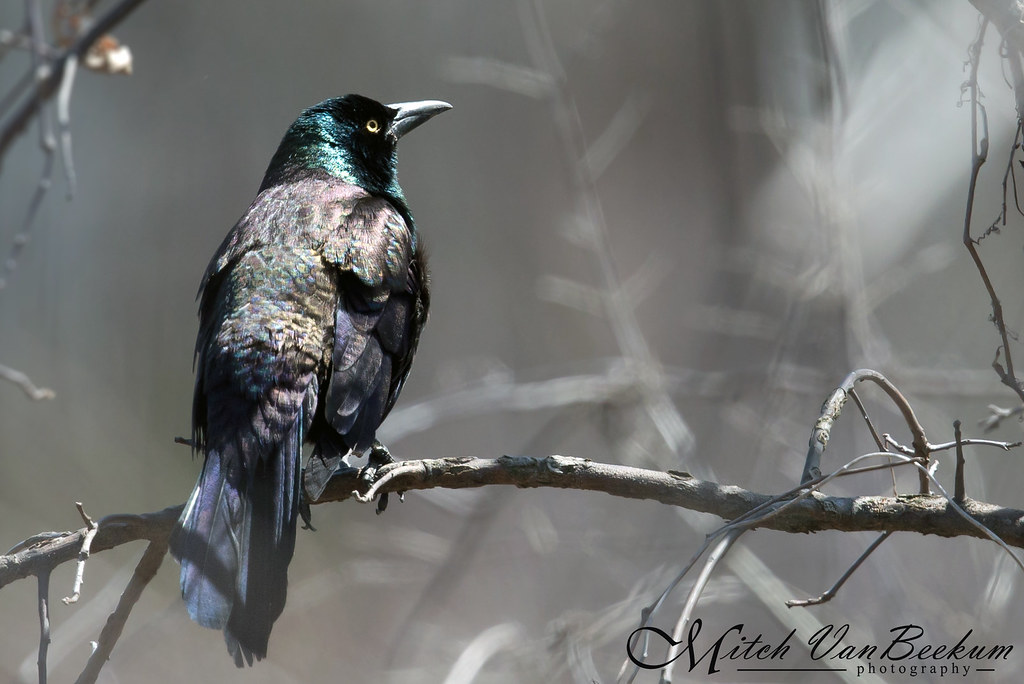 Show Your True Colors (Common Grackle)
