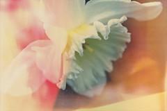 Dream Daffodil (jacscot) Tags: altered fuji distorted daffodil fujifilm x100s