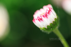 () Tags: flowers plant flower canon marco mtali alisan   1dx marcolens  100mmf28marco
