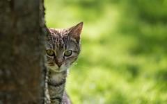 kitty (30) (Vlado Ferenčić) Tags: cats animals kitty catsdogs hrvatskozagorje nikkor8020028 cc100 zagorje nikond600 klenovnik canceledgroup