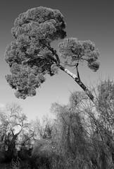 Pino ladeado (Koke Hernn) Tags: madrid blackandwhite bw tree gardens pine composition river outdoors blackwhite high spain day top large diagonal crown tall aranjuez nikond3200 2015 d3200 jardinesdearanjuez
