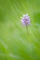 orchis simia (YannW) Tags: flower nature fleur canon bokeh 300mm orchide singe 6d sauvage orchis proxi simia