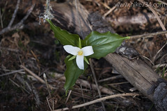 "Trillium • <a style=""font-size:0.8em;"" href=""http://www.flickr.com/photos/63501323@N07/17353500641/"" target=""_blank"">View on Flickr</a>"